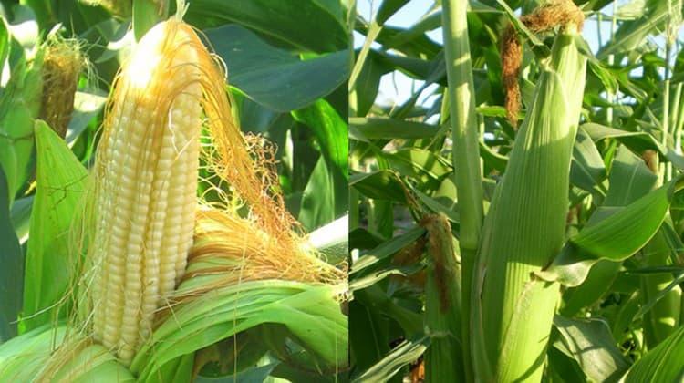 Узнайте все о пользе и вреде кукурузы для организма.