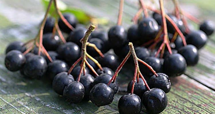 Польза и вред черноплодной рябины для здоровья