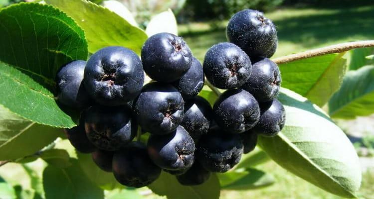 Вино из черноплодной рябины польза и вред