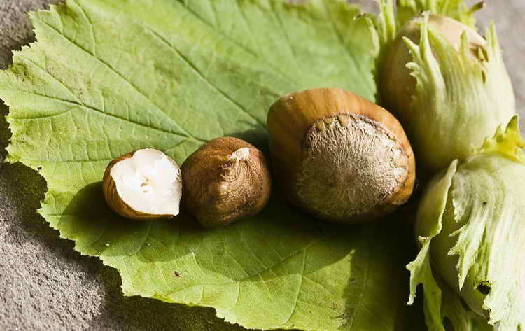 польза ореха фундук для организма человека