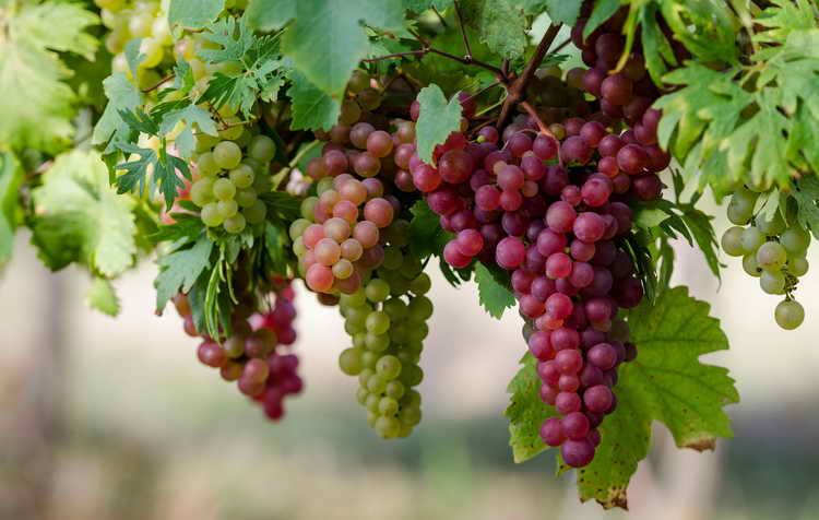 виноград польза и вред для организма