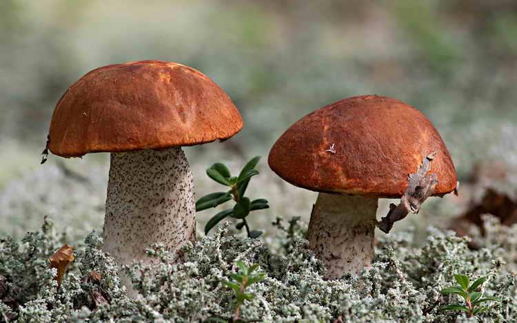 калорийность грибы опята
